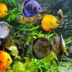 freshwater-aquarium-fishes